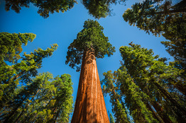 Sequoia National Park - Tree